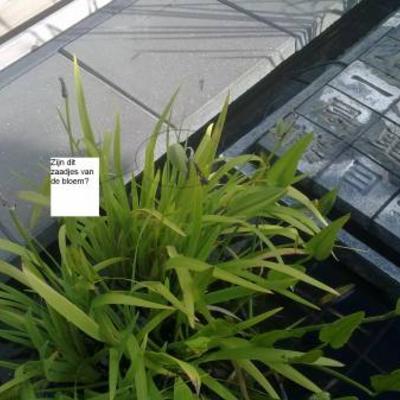 Vraag over waterplant die al heeft gebloeid