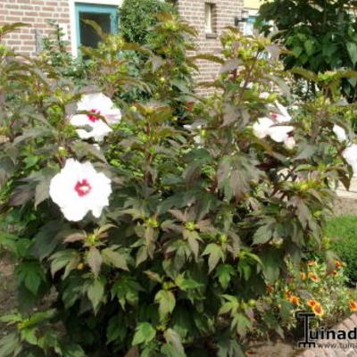 Grootbloemige Hibiscus