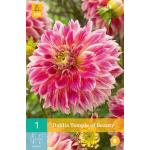 Dahlia 'Temple of Beauty'