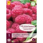Rubus idaeus 'Malling Promise' - framboos