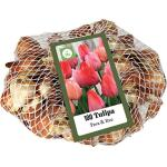Tulp 'Pink & Red - netje