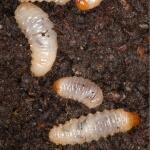 DCM Kraussi-Guard - aaltjes tegen larven van de taxuskever voor 100 m²