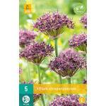 Allium atropurpureum - sierui