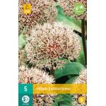 Allium karataviense - sierui (5 stuks)