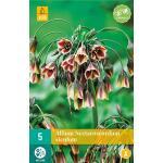 Allium (nectaroscodum) siculum - 5 stuks