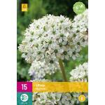Allium nigrum - sierui