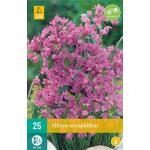 Allium oreophilum - sierui