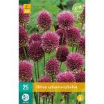 Allium sphaerocephalon sierui - 25 stuks