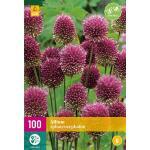 Allium sphaerocephalon sierui - 100 stuks