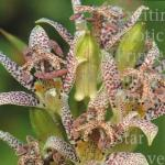 Tricyrtis hirta Toad Lily
