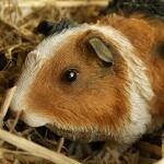 Cavia/Guinees biggetje - levensecht