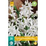 Chionodoxa luciliae Alba - sneeuwroem (20 stuks)