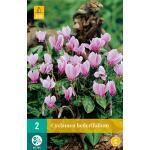 Cyclamen hederifolium - cyclaam van Napels