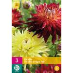 Dahlia's 'Double Bright Mix' (3 stuks)