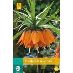 Fritillaria imperialis Aurora - keizerskroon
