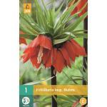 Fritillaria imperialis Rubra - keizerskroon rood
