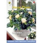 Gardenia Kaapse jasmijn - Gardenia jasminoides