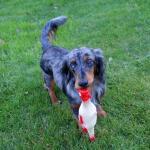 Hondenspeelgoed piepende haan