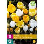 Krokus grootbloemig - geel/wit (30 stuks)