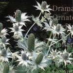 Eryngium Miss Willmotts Ghost