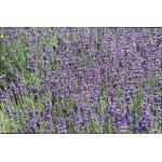 Lavandula angustifolia 'Hidcote' - Lavendel - Lavandula angustifolia 'Hidcote'