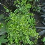 Chinese kamperfoeli - Lonicera nitida 'Maigrün'