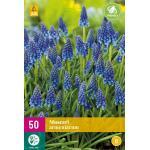 Muscari armeniacum - blauw druifje (50 stuks)