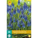 Muscari armeniacum - blauw druifje (20 stuks)
