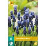 Muscari latifolium - blauw druifje (15 stuks)