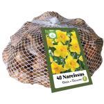 Narcissus grootkronig geel