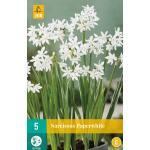 Narcissus Paperwhite - kamercultuur