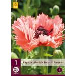 Papaver orientale 'Fornsett Summer'