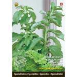 Stevia rebaudiana - suikerplantje (special)