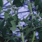 Tomaten diefhaken (25 stuks)
