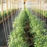 Tomatenkoorden - tomatentouwen 220 cm