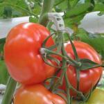Tomaten trossteun wit (100 stuks)