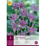 Tricyrtis hirta - armeluisorchidee