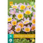 Tulipa bakeri Lilac Wonder - botanische tulp