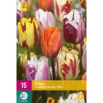 Tulipa Flaming Beauty mix - tweekleurige tulp