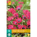 Tulipa Little Beauty -  botanische tulp