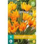 Tulipa praestans Shogun -  botanische tulp (10 stuks)