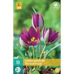 Tulipa pulch. Persian Pearl - botanische tulp