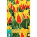 Tulipa Stresa - Kaufmanniana tulp