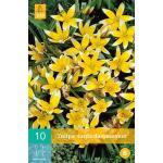 Tulipa Tarda -  botanische tulp