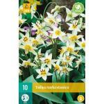 Tulipa Turkestanica - botanische tulp