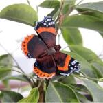 Vlindermagneet atalanta