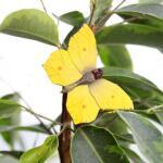 Vlindermagneet citroenvlinder
