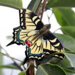 Vlindermagneet koninginnepage