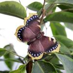 Vlindermagneet rouwmantel